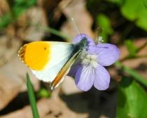 Obr. 6. Bělásek řeřichový je jarní motýl, na Pichcích se s ním s