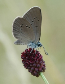 Obr. 7. Modrásek bahenní. Jeho housenky se nejprve vyvíjí v květ